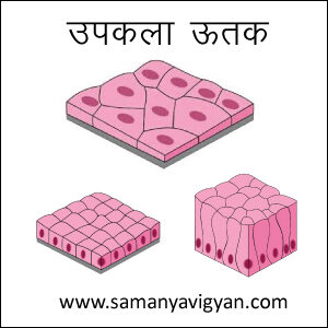 उपकला ऊतक (Epithelial Tissue)
